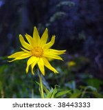 Small photo of Alpine Arnica flower ( Arnica chamissonis) along a wilderness mountain trail. These are poisonous to eat, but have healing qualities when used on unbroken skin