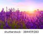 sunset over a violet lavender... | Shutterstock . vector #384459283