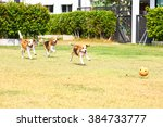 Young Beagle Dog Running On Th...