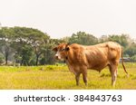 Brown Cow With Grassand Sky In...