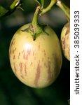 Pepino Melon Solanum Muricatum