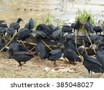 Small photo of Black vulture (Coragyps atratus) also known as the American black vulture