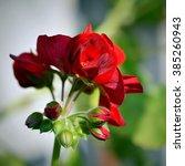 Red Geranium Buds  Pelargonium