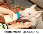 Small Piglet Feeding Milk From...
