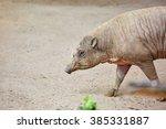 Babirusa  Pig