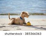 lakeland terrier dog lying on...   Shutterstock . vector #385366363