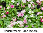 flowers of primula auricula   Shutterstock . vector #385456507