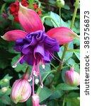 beautiful blooming fuchsia...   Shutterstock . vector #385756873