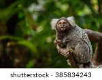 Common Marmoset.