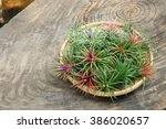 Small photo of air plant with scientific name Tillandsia, isolated on wooden background.