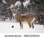 Alert  White Tailed Deer Buck ...