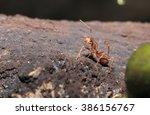 weaver ants  oecophylla...   Shutterstock . vector #386156767