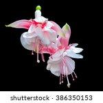 Two Fuchsia Flowers Isolated O...