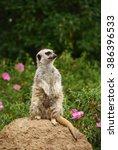 meerkat sitting on the stone... | Shutterstock . vector #386396533