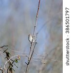 Small photo of American Tree Sparrow takes in surroundings from near-vertical perch