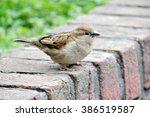 bird sparrow perched on a wall... | Shutterstock . vector #386519587