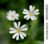 Small photo of Closeup of three white Stellaria holostea L. flowers (family Caryophyllaceae)