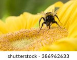 A Bold Bumble Bee On A Fresh ...