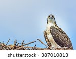 An Osprey  Also Fish Eagle  Se...
