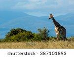 Giraffe African Mammal Nature...