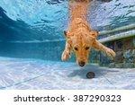 playful golden retriever puppy... | Shutterstock . vector #387290323