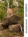 Small photo of Adult Male Cougar (Puma concolor) Stares Forward - captive animal