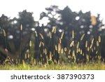bristle grass under sunshine... | Shutterstock . vector #387390373
