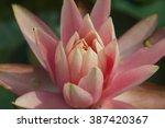 Lotus  Lilies Flower  Macro...