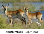 Two Female Red Lechwe Antelope...