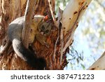 Common Brushtail Possum In Tre...