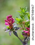 Small photo of Rusty-leaved Alpine Rose (Rhododendron ferrugineum), Germany