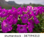 Purple Petunias In The Park.