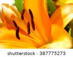 Tiger Lily Close Up