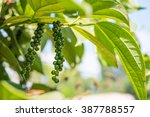 Black Pepper   Plant With Gree...
