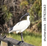 a majestic sacred ibis... | Shutterstock . vector #387823663