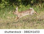 wild cute rabbit is jumping on... | Shutterstock . vector #388241653