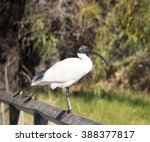 a majestic sacred ibis... | Shutterstock . vector #388377817