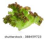 Fresh Red Oak Lettuce Isolated...