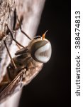 Small photo of Close -up of Tabanidae horse fly