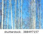 The Slender Trunks Of Birch...
