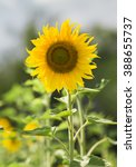 portrait of sunflower | Shutterstock . vector #388655737