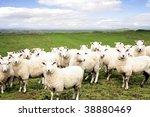 sheep standing in paddock.... | Shutterstock . vector #38880469
