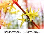 Forsythia. Forsythia Branch Of...