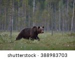 brown bear walking with forest... | Shutterstock . vector #388983703