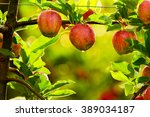 Red Apples On Tree In Orchard...