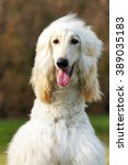 Small photo of beautiful fawn Afghan hound dog in summer closeup portrait