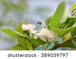 Small photo of Guava (Psidium guajava) flowers being pollinated by a honey bee. A blue-banded bee (Amegilla cingulata) hovering over a white flower.