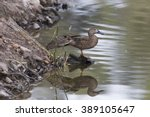 Female Cinnamon Teal With...