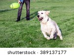 Golden Retriever Dog Playing...