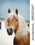 Palomino Haflinger Horse...